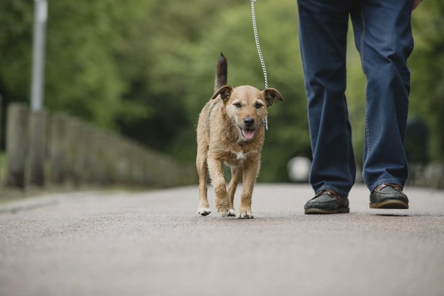 Terrier Dog Being Walked by Senior Owner