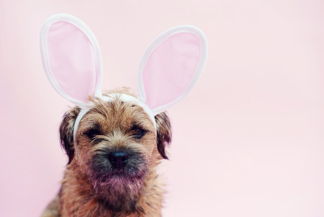 Dog wearing Easter Bunny ears
