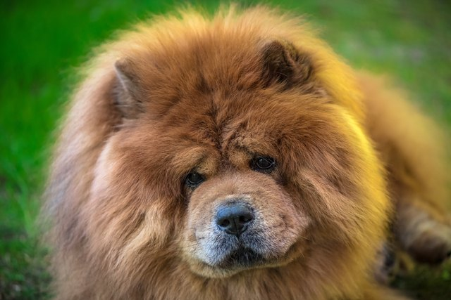 Headshot of chow chow dog