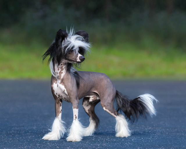 Chinese Crested Dog Breed. Male dog.