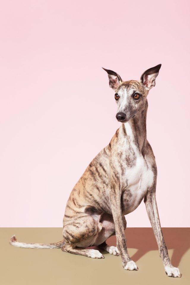Portrait of Whippet Dog