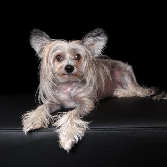 Sable and White Chinese Crested Dog on black backdrop