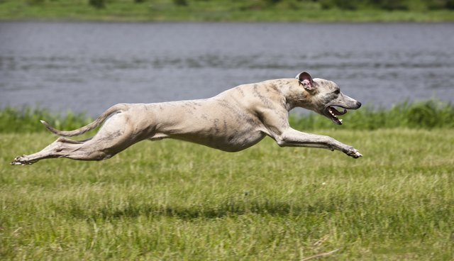 whippet quickly runs