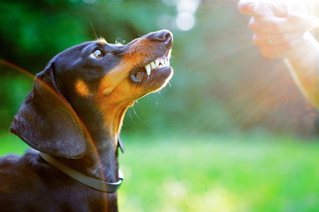 Aggressive dachshund bared its teeth in front of woman hand