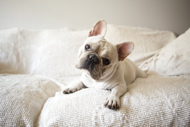 Usa, New York State, New York City, Portrait of French Bulldog lying down on sofa